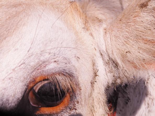 Baby calf eye